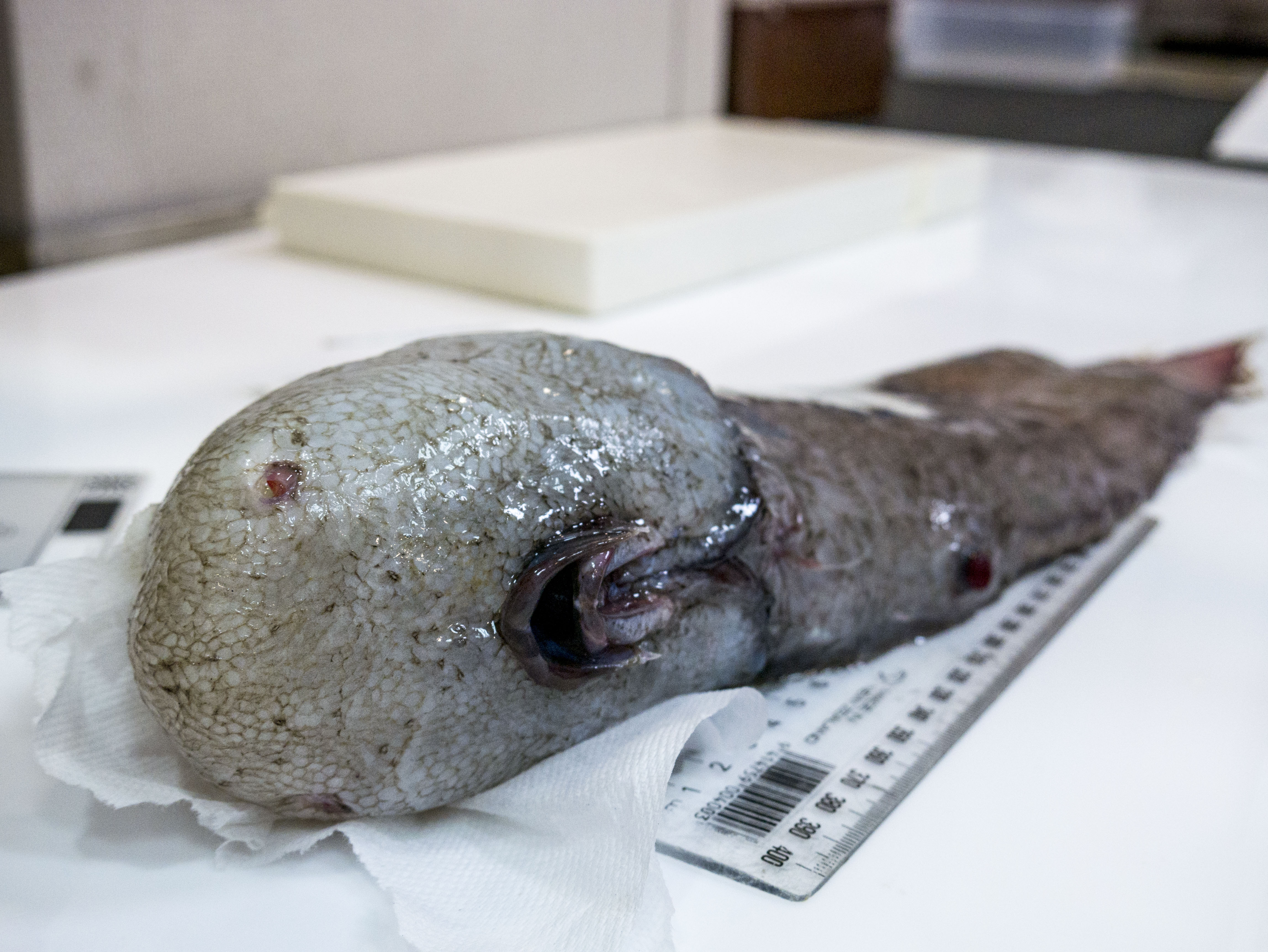 Specimen of a faceless fish.