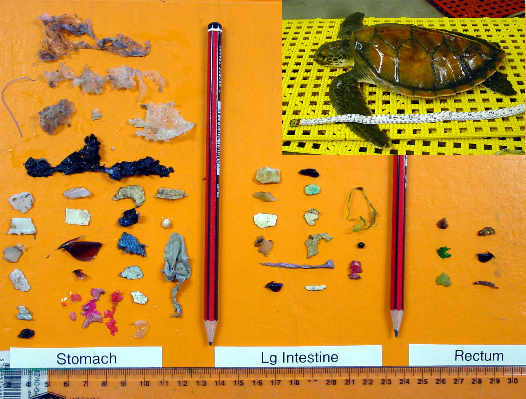40 difference pieces of plastic, including plastic bags, bits of hard plastic, duct tape and balloons, laid out on a table next to a small dead green sea turtle.