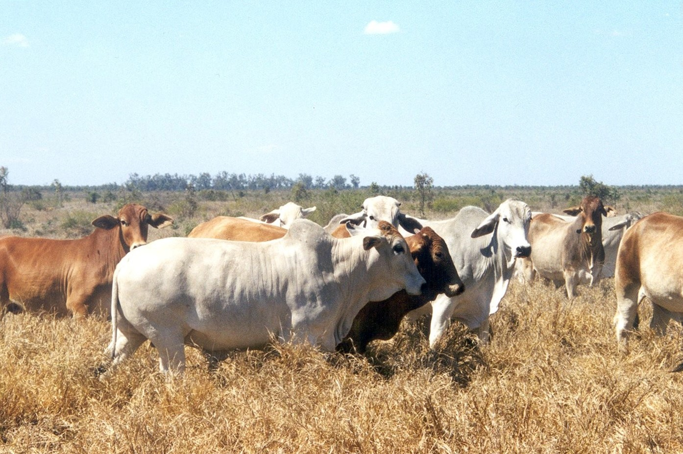 The Brahman cattle breed