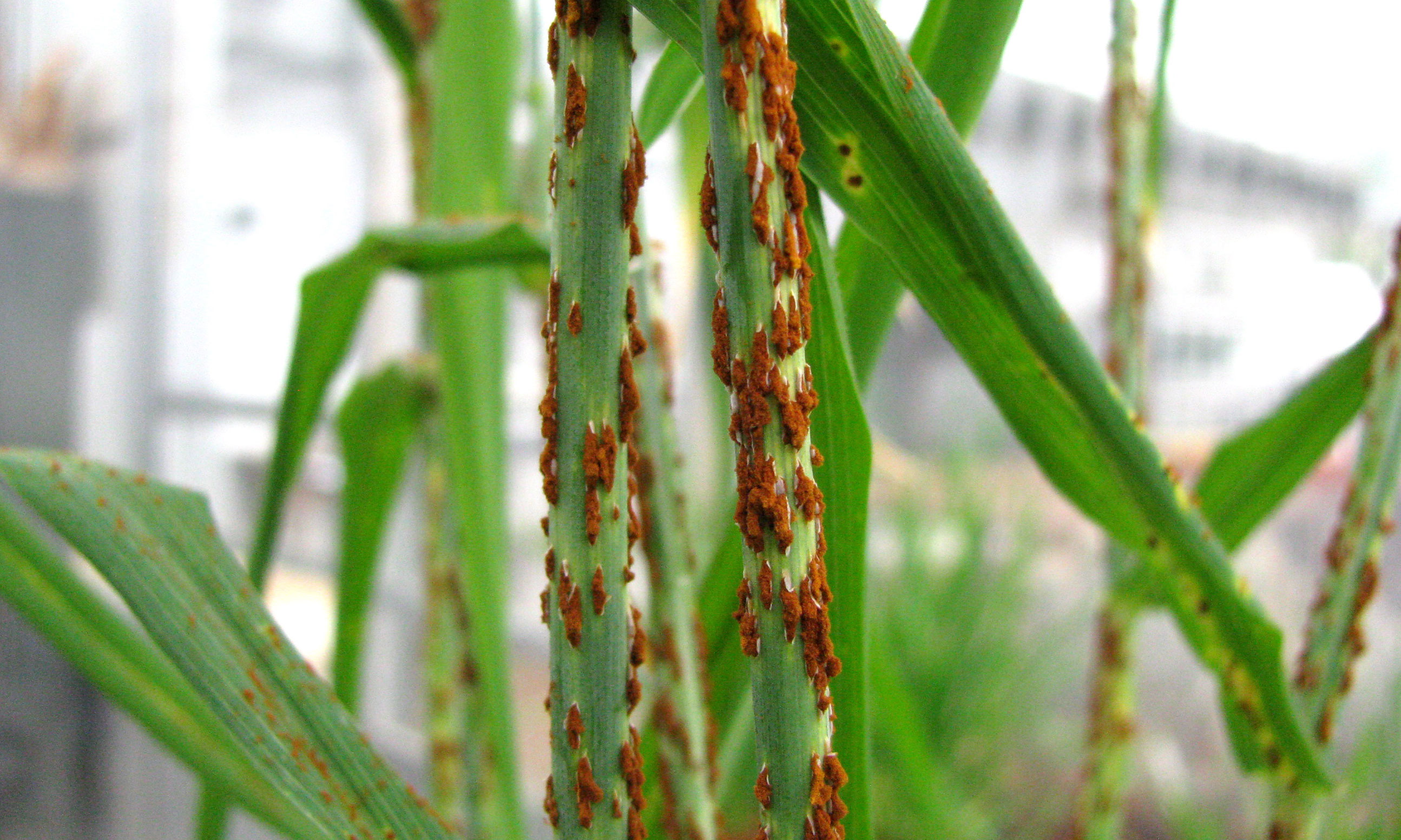 Red spots on a wheat stalk