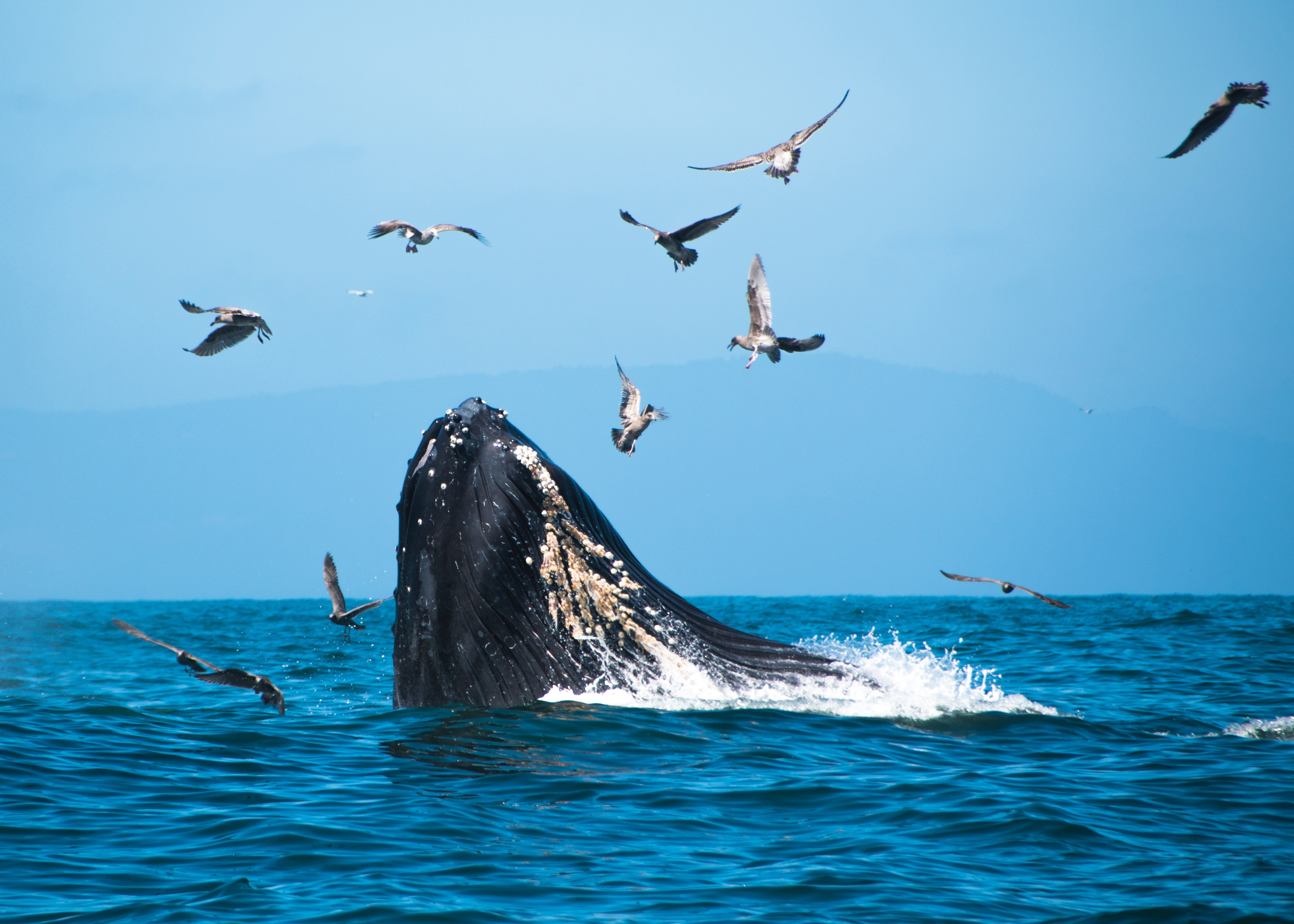 Whale breaching through water with birds flying overhead.