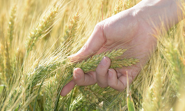 Person's hand gripping heads of wheat in a wheat crop.