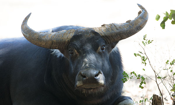 Close up of black buffalo with large horns