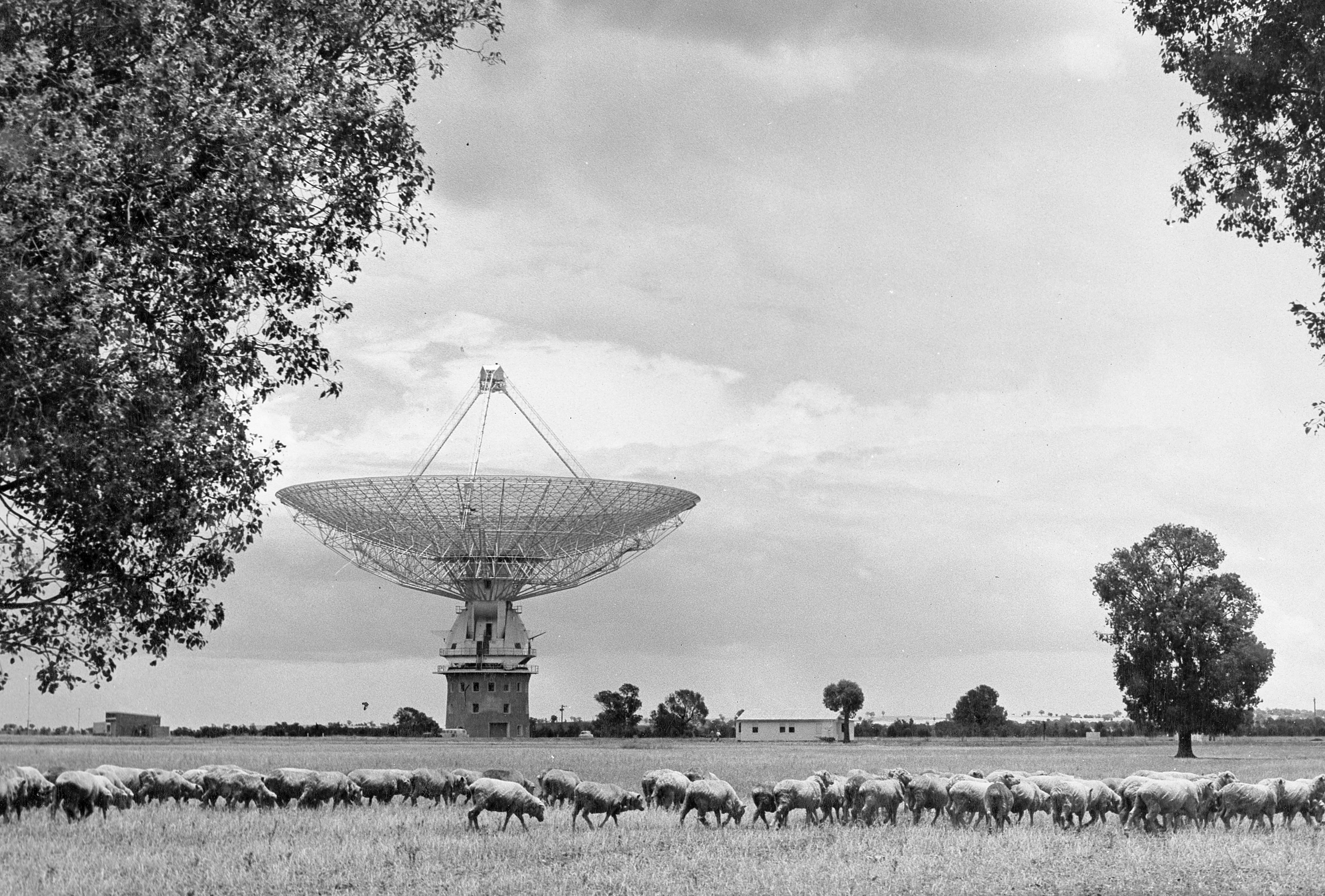 Black and white photo of the Parkes radio telescope with a flock of sheep in the foreground.