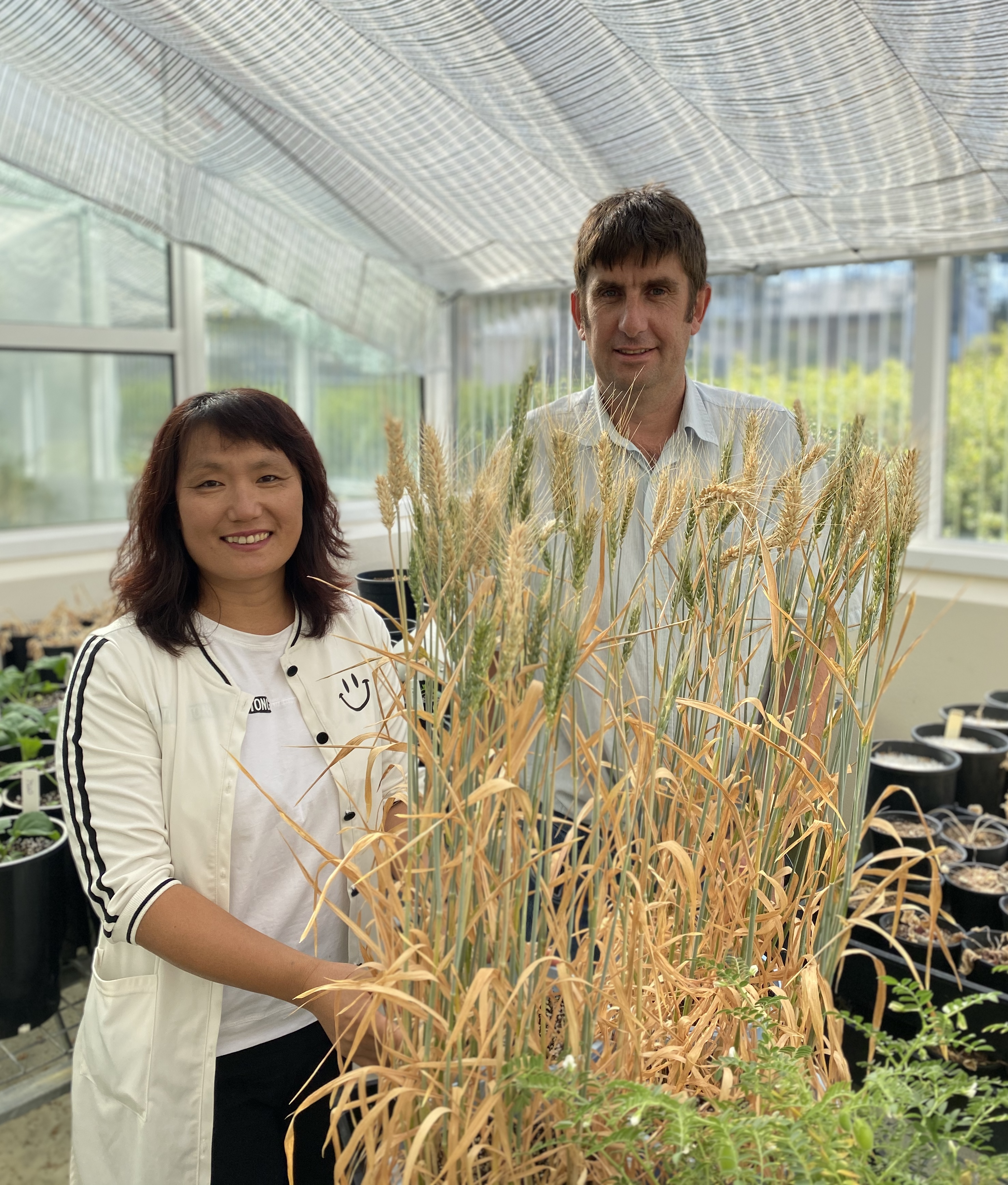Andrew Fletcher  Chao Chen standing with a wheat sample in a glasshouse.