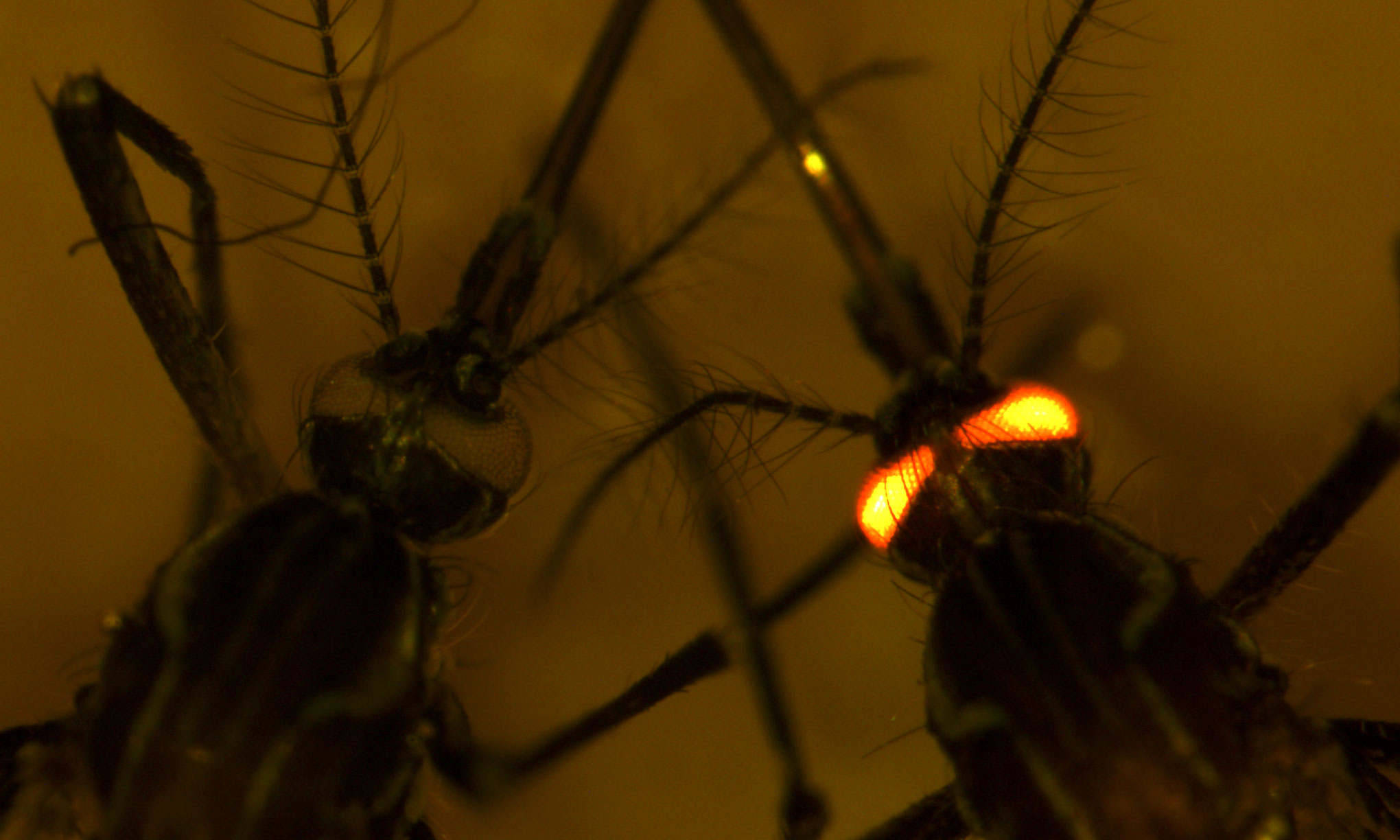 Close up of a mosquito on the right with glowing red eyes (dengue resistant red-eye gene), and a mosquito on the left with normal eyes.