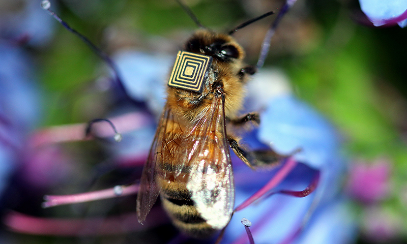 Honey bee fitted with a sensor