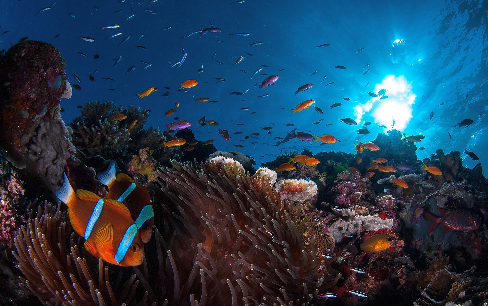 Pictured is a clown fish among beautiful colourful coral on the Great Barrier Reef