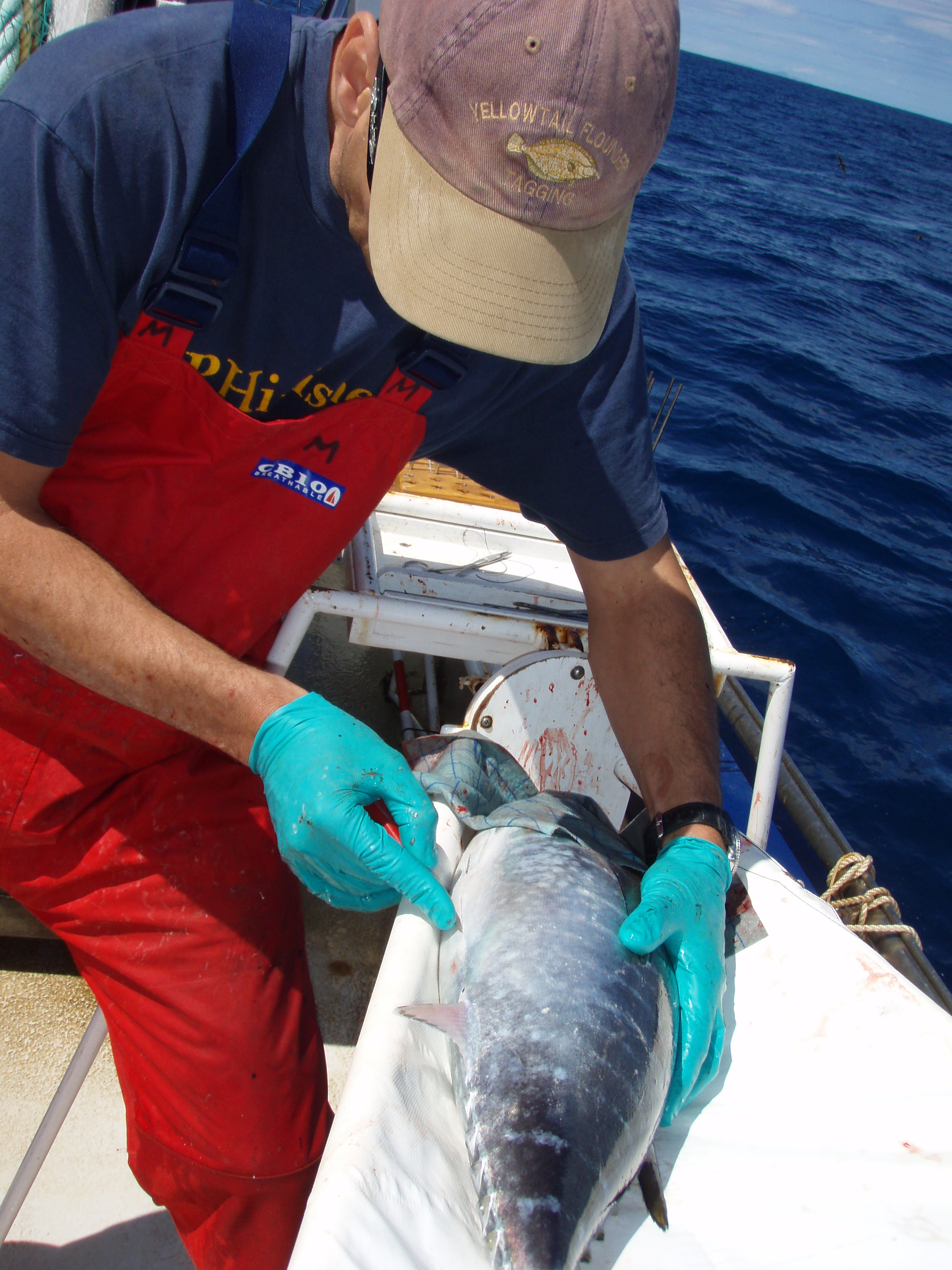 Southern Bluefin Tuna being tagged