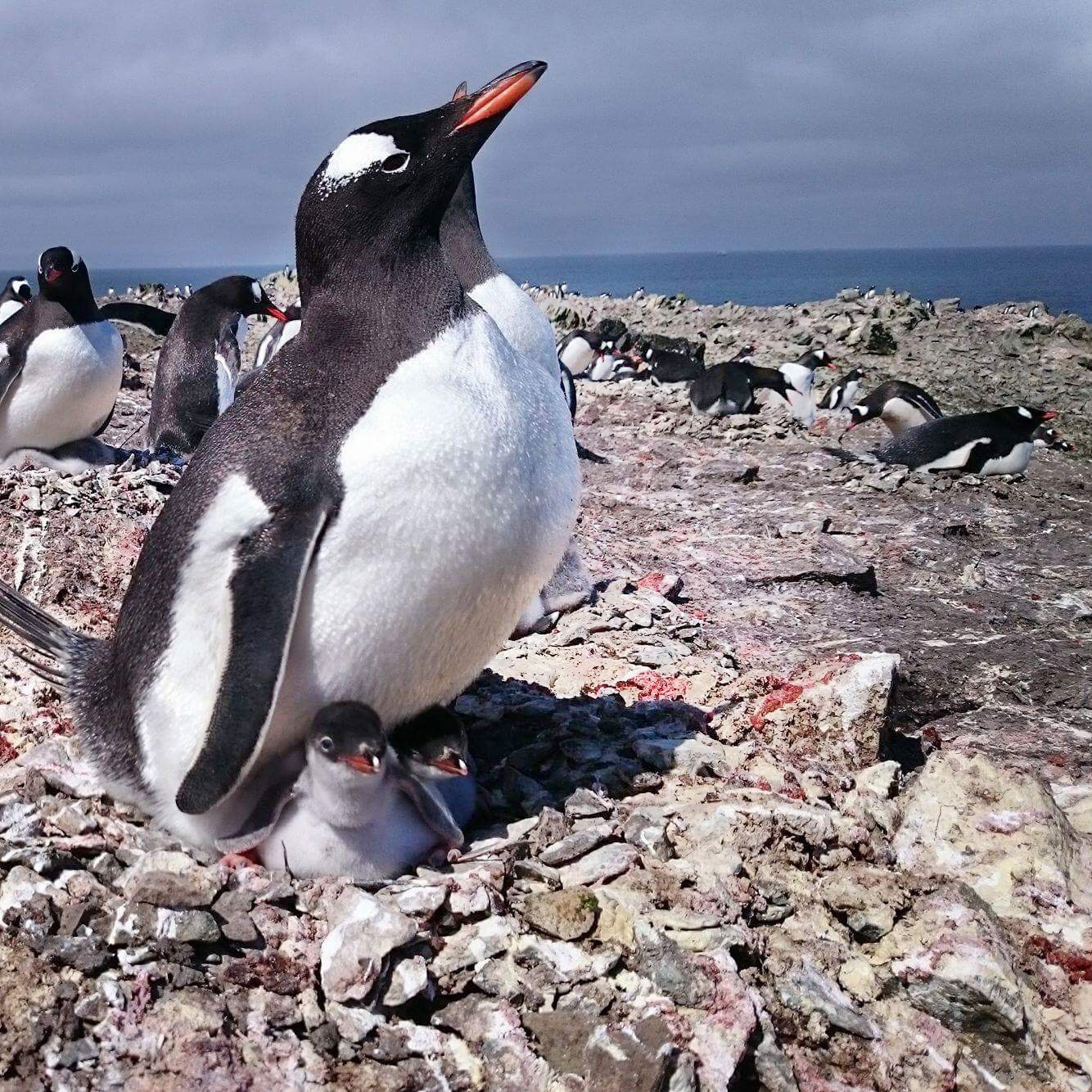 Gentoo penguin sitting on two babies