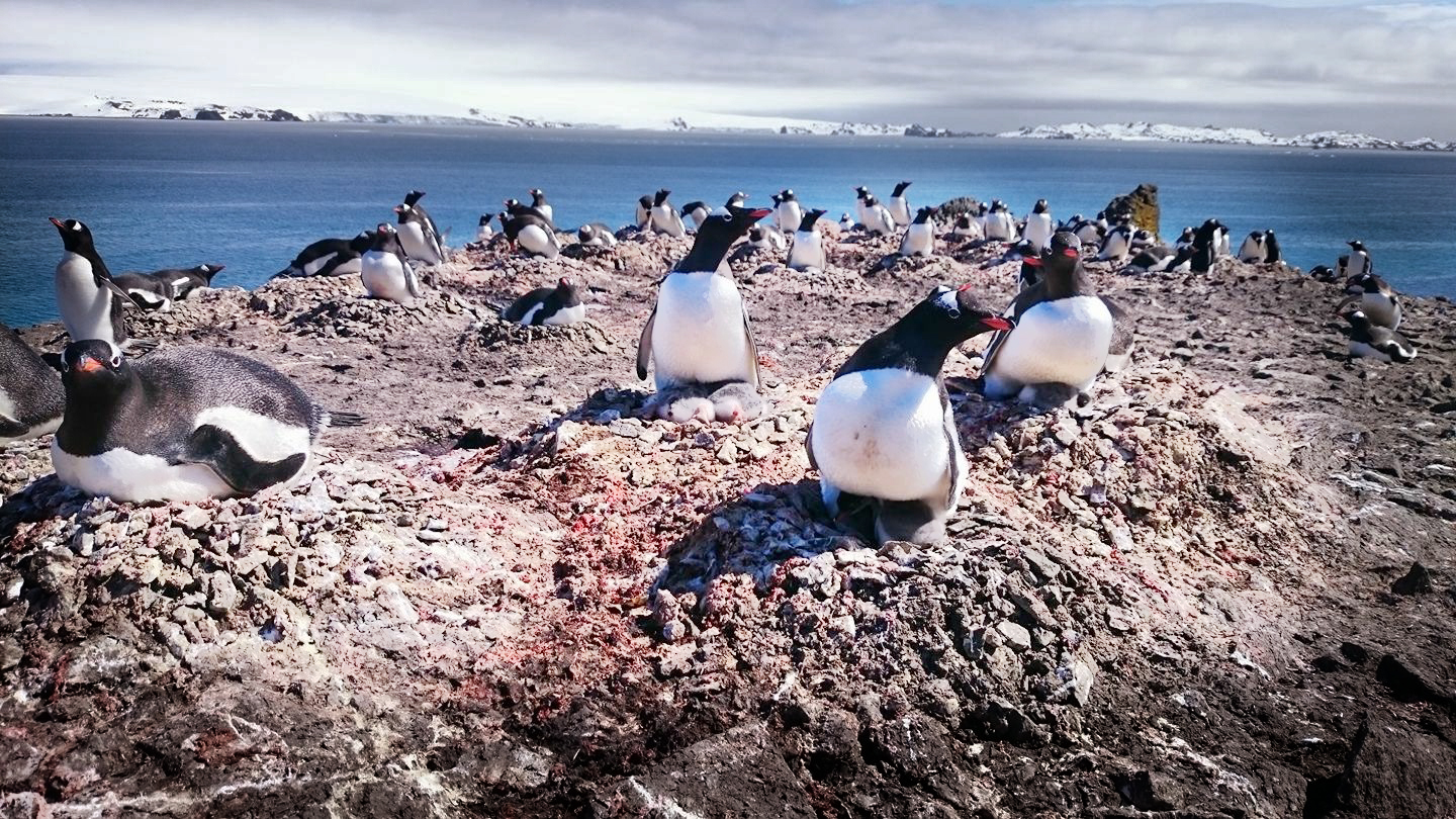 Colony of Gentoo penguins