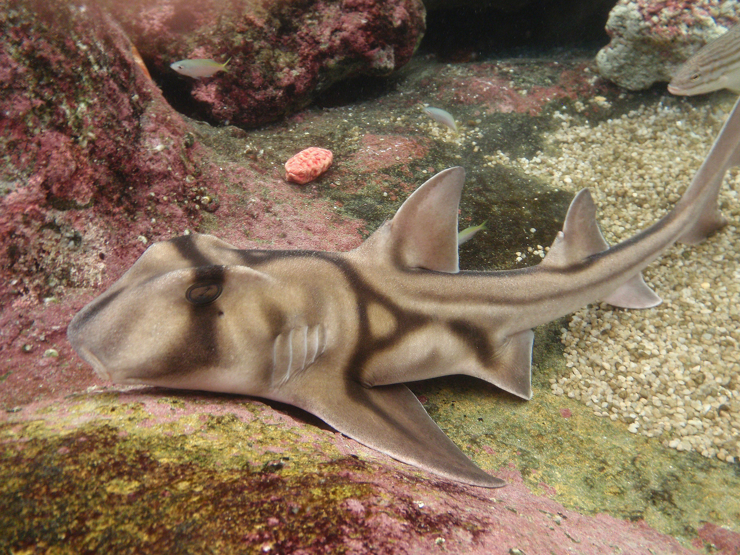 A Port Jackson Shark on the floor of the sea
