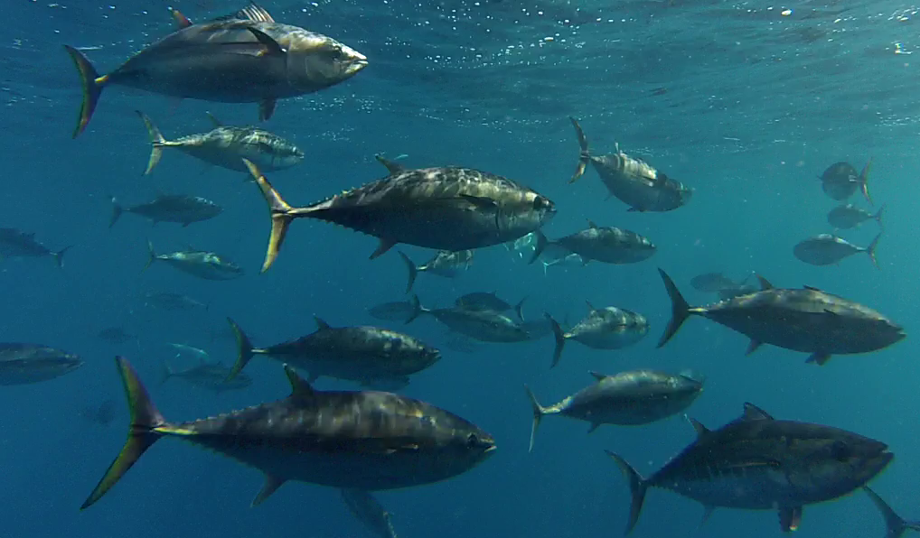 Southern Bluefin tuna beneath the surface of the ocean