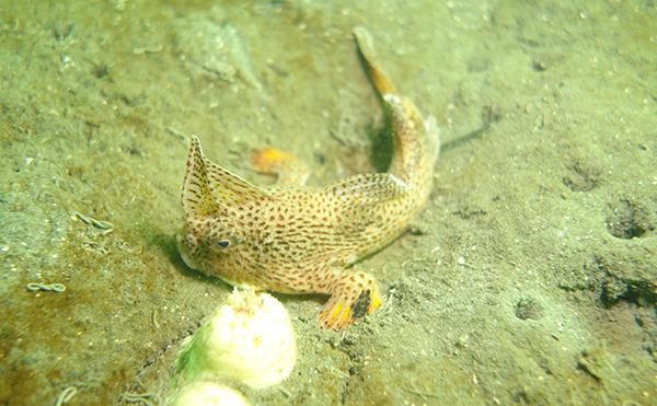 A Spotted Handfish is seen on the seabed.