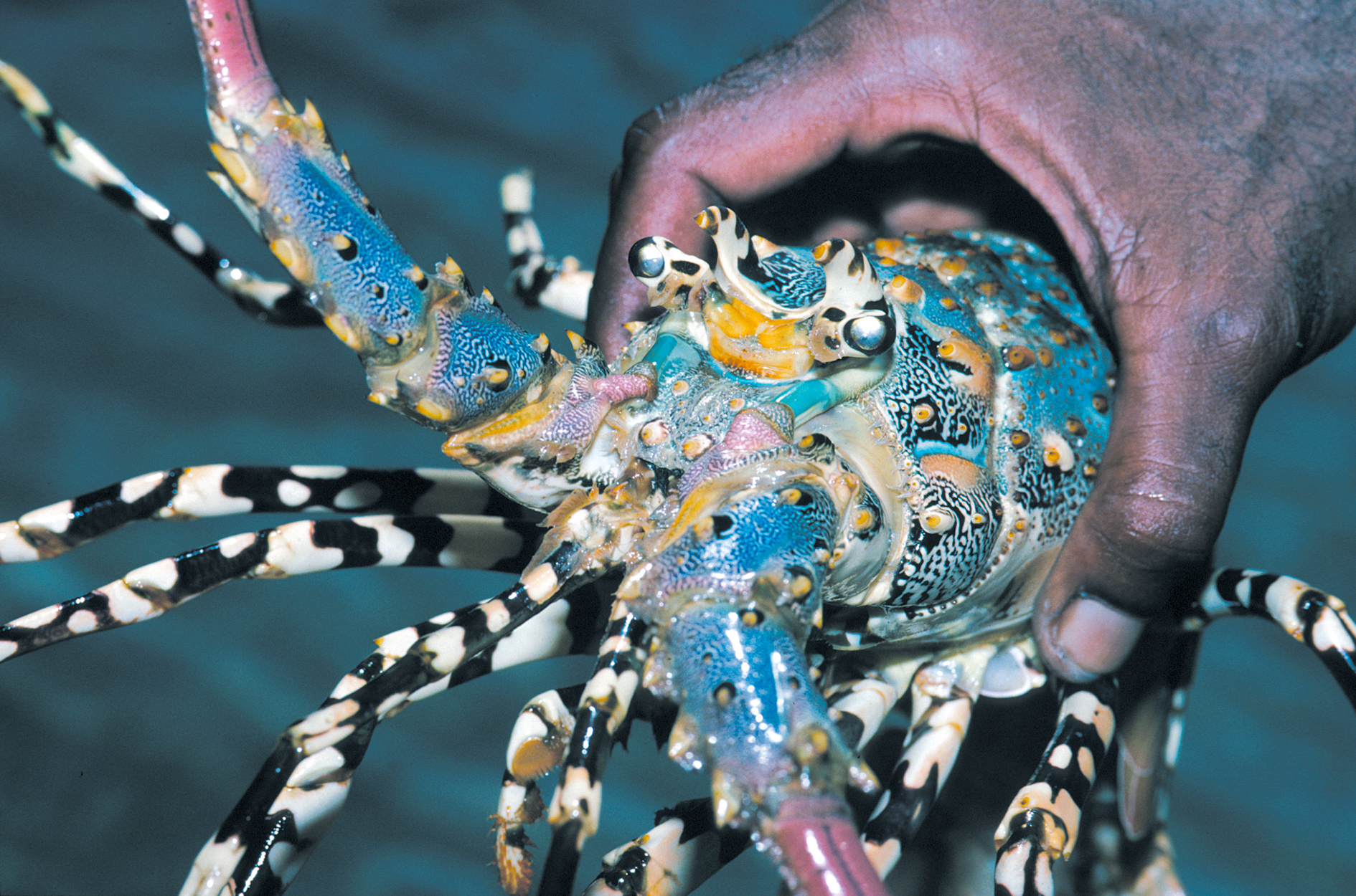 A hand holding a brightly coloured tropical rock lobster.