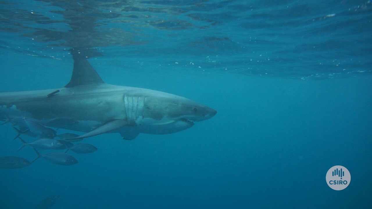 Adult white shark swimming in ocean with tag