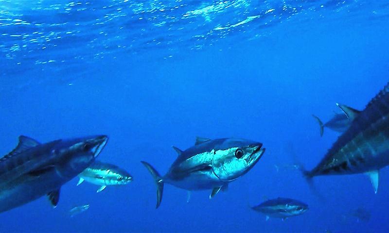 Genetic tagging to monitor juvenile southern bluefin tuna